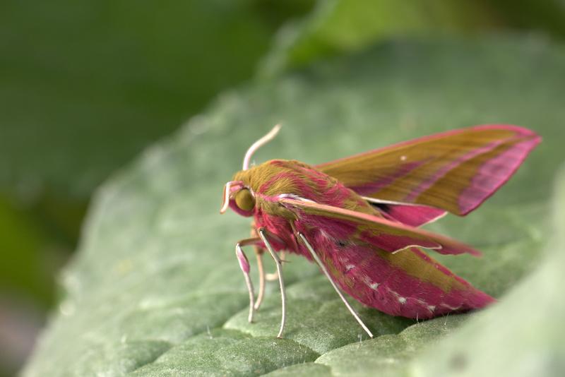 Sphinx de la vigne (Deilephila elpenor) Img_8810