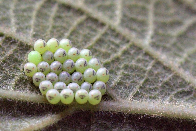 oeufs sous feuille de kiwi [Pentatomidae, Ichneumonidae et Aglais io] Img_9310