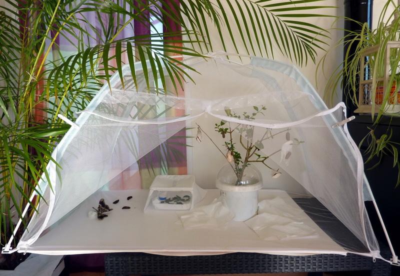 Tentes en moustiquaire pour nos papillons P1100010