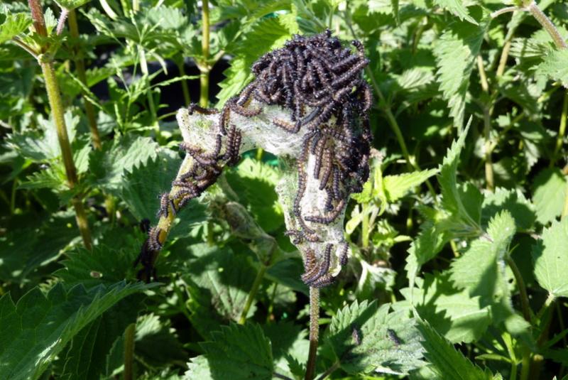 oeufs sous feuille de kiwi [Pentatomidae, Ichneumonidae et Aglais io] P1100210