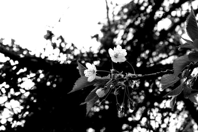 Nos amies les fleurs (Symbolisme) - Page 10 Bligno14
