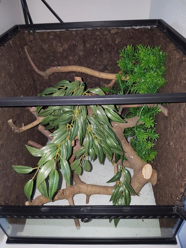 Terrarium pour morelia viridis aru juvénile  20170516