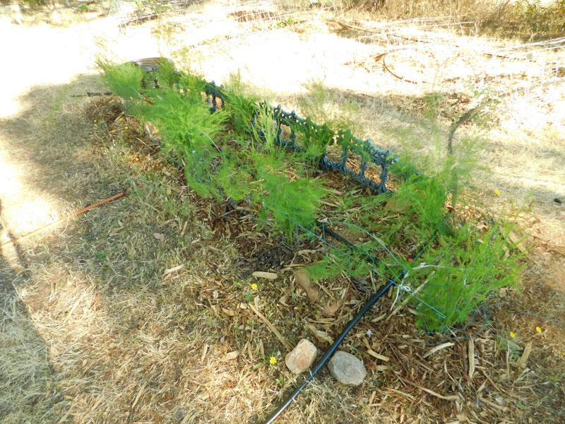 My early garden Aspara14