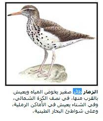 طائر الزقزاق و الزمار و انواعها _oo10