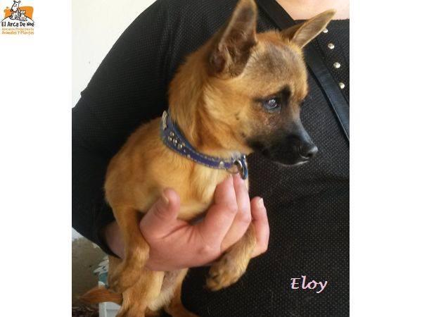 ELOY (devenu LEXY) - CROISE CHIHUAHUA - ES  17342812
