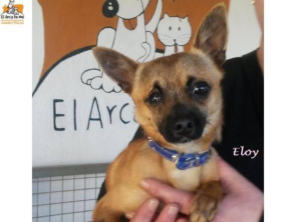 ELOY (devenu LEXY) - CROISE CHIHUAHUA - ES  17352011