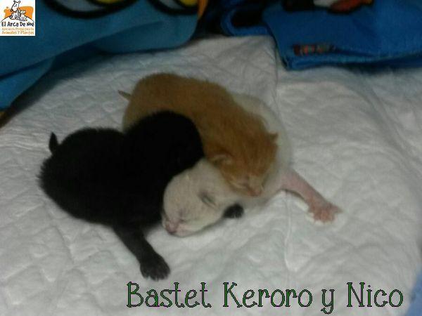 [A RESERVER] KERORO - TIGRE ROUX - ES  Bastet10