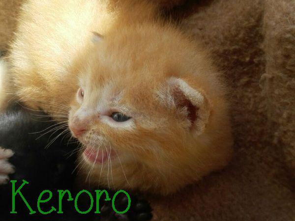 [A RESERVER] KERORO - TIGRE ROUX - ES  Keroro10