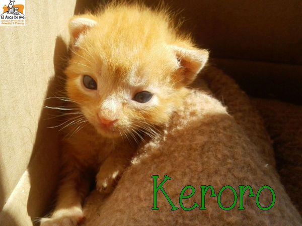 [A RESERVER] KERORO - TIGRE ROUX - ES  Keroro11