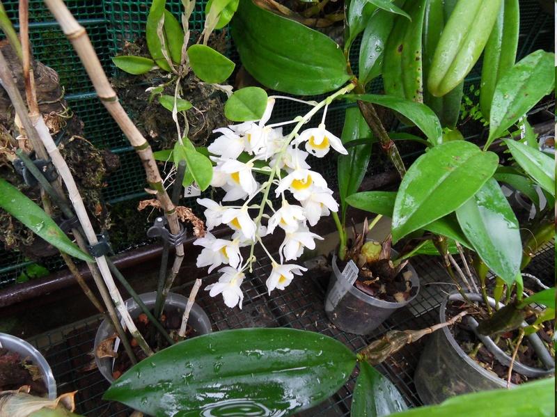 Dendrobium farmeri 112