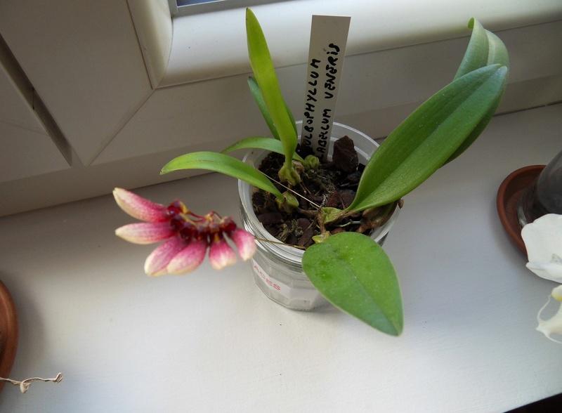 Bulbophyllum flabellum-veneris 114