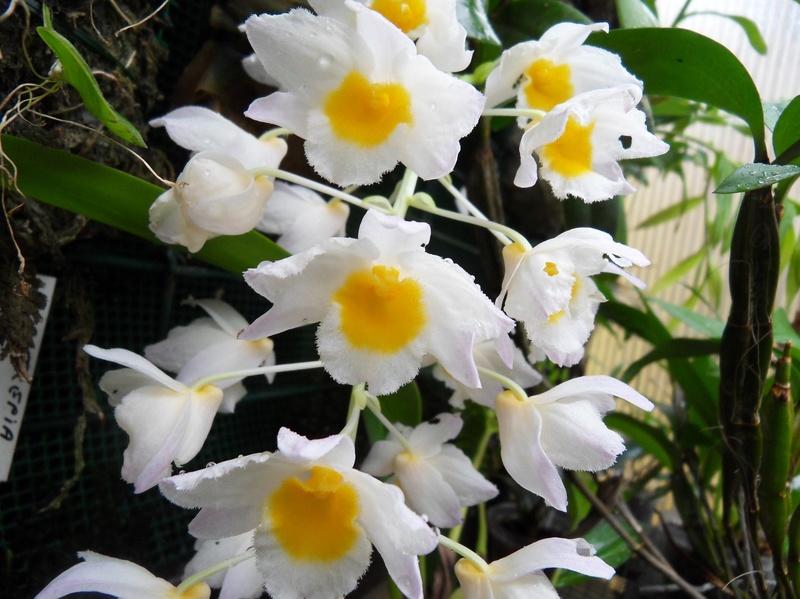 Dendrobium farmeri 212