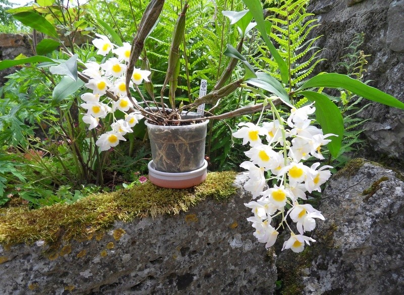 Dendrobium farmeri Dendro10