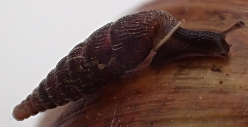 Macrogastra plicatula (Draparnaud, 1801)  Clausi10