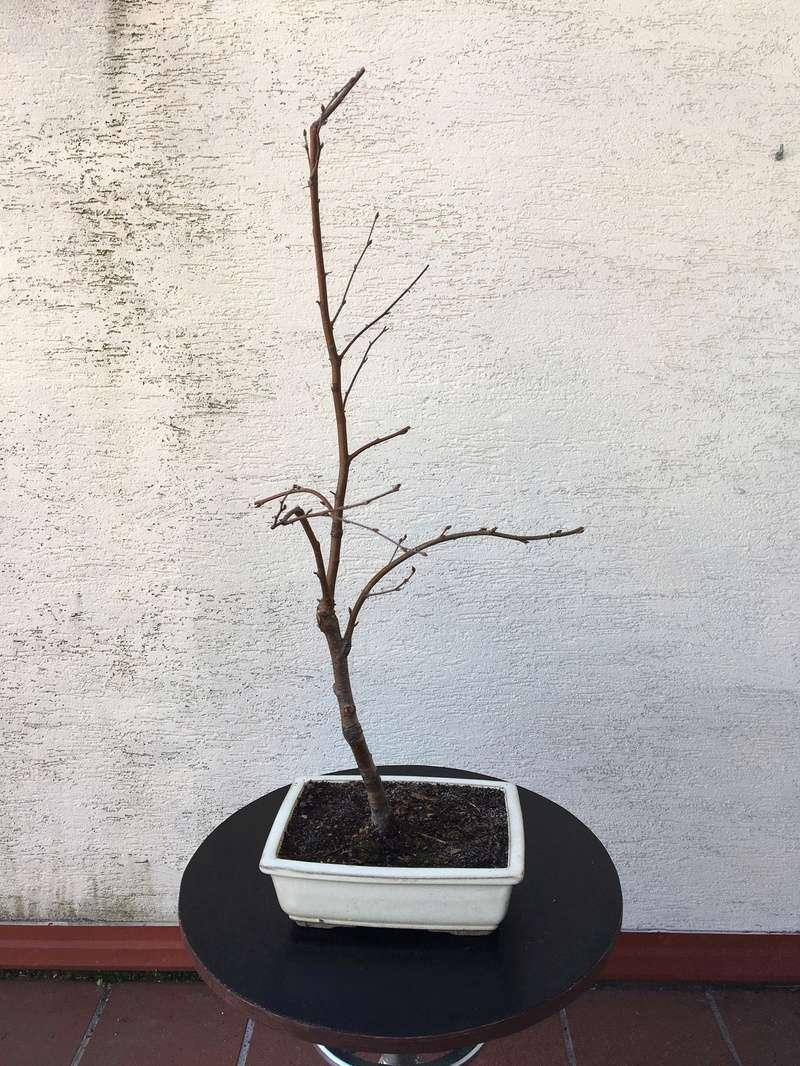 Birch from seed Bayyza10