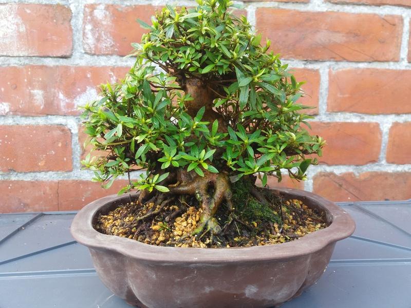 First real azalea satsuki bonsai 20170311
