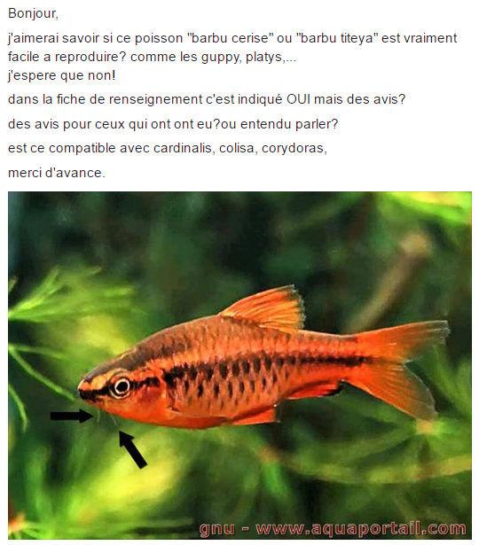 Barbus cerise/ titaya : reproduction Zefzef10