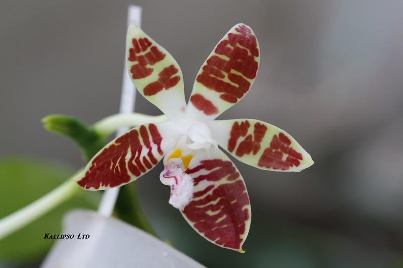 phalaenopsis sumatrana Suma110