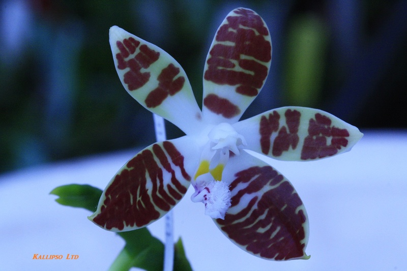 phalaenopsis sumatrana Suma210