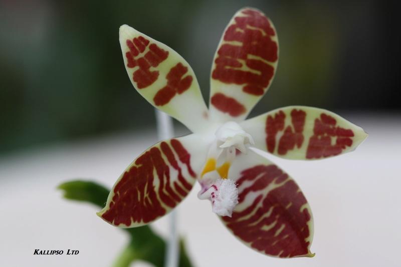 phalaenopsis sumatrana Suma410