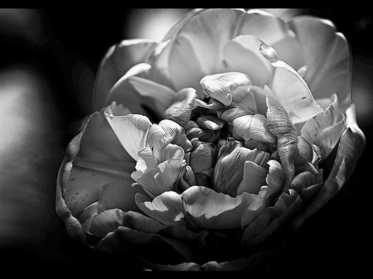 La Tulipe Noire P4031510