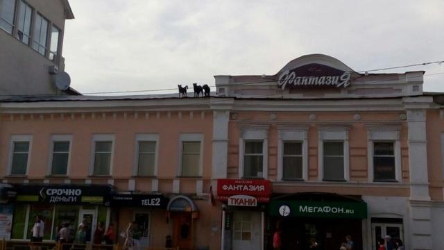 В Пензе собаки, живущие на крыше ТЦ, стали звездами сети 14850810