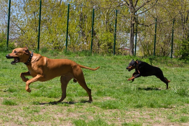 Курсинг. Собачий спорт Dsc_0010
