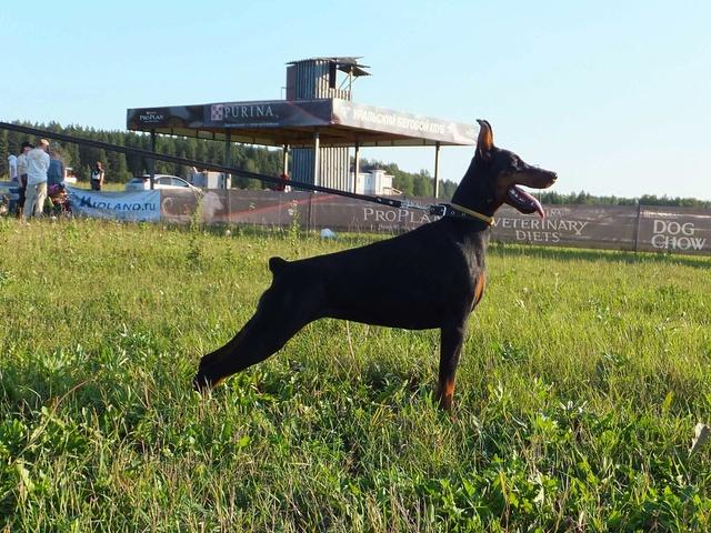 Курсинг. Собачий спорт Dscf7711