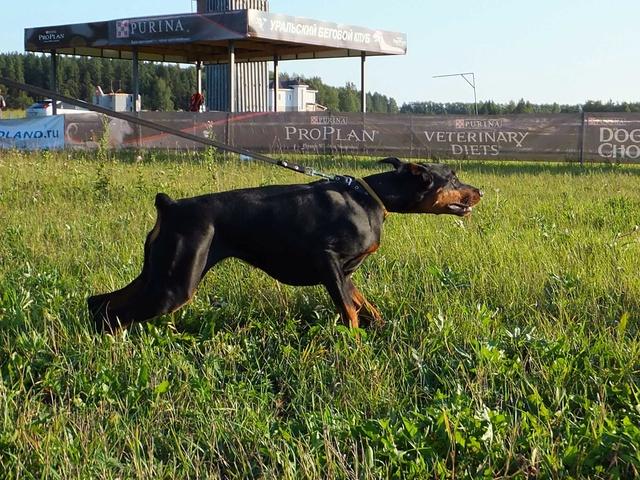 Курсинг. Собачий спорт Dscf7712