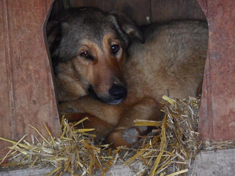SORINA- femelle croisée berger née en 2016 - parrainée par MAOUSSE54-  sorti de l'équarrissage le 11 mars Dscn6811
