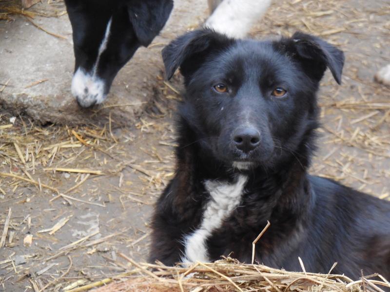 MAMBO, mâle croisé berger né mi Juin 2016 - SAUVE ÉQUARRISSAGE DE PALLADY - PARRAINE CORINA59 -R-SOS-SC Dscn6831