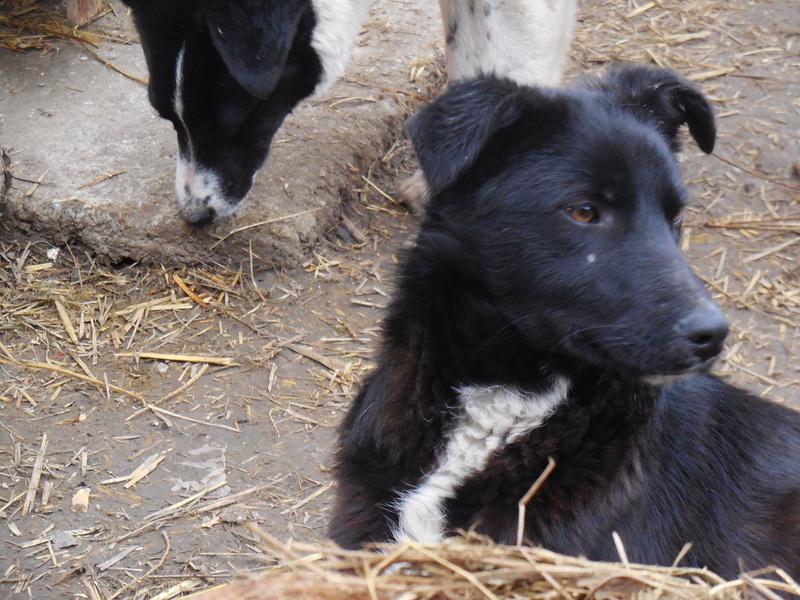 MAMBO, mâle croisé berger né mi Juin 2016 - SAUVE ÉQUARRISSAGE DE PALLADY - PARRAINE CORINA59 -R-SOS-SC Dscn6833