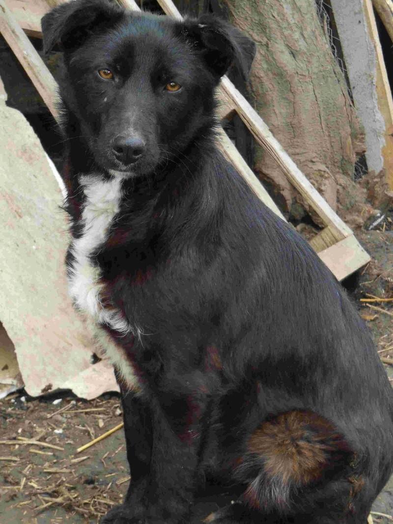 MAMBO, mâle croisé berger né mi Juin 2016 - SAUVE ÉQUARRISSAGE DE PALLADY - PARRAINE CORINA59 -R-SOS-SC Dscn6838