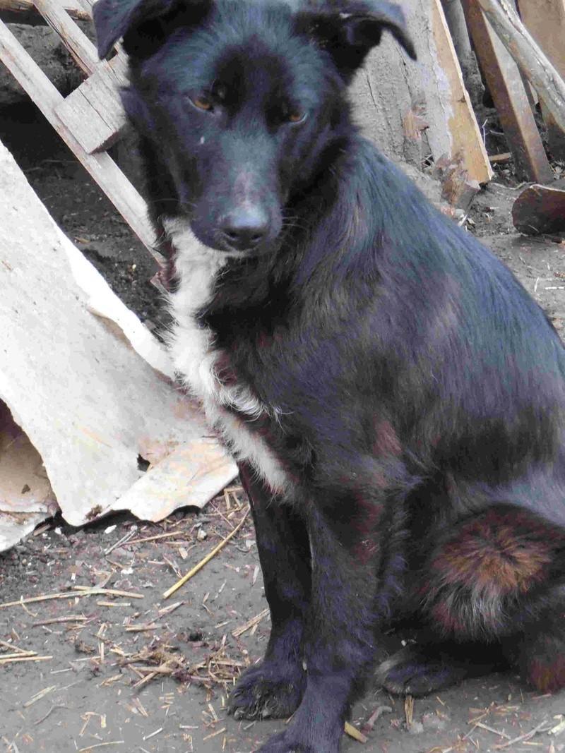 MAMBO, mâle croisé berger né mi Juin 2016 - SAUVE ÉQUARRISSAGE DE PALLADY - PARRAINE CORINA59 -R-SOS-SC Dscn6839