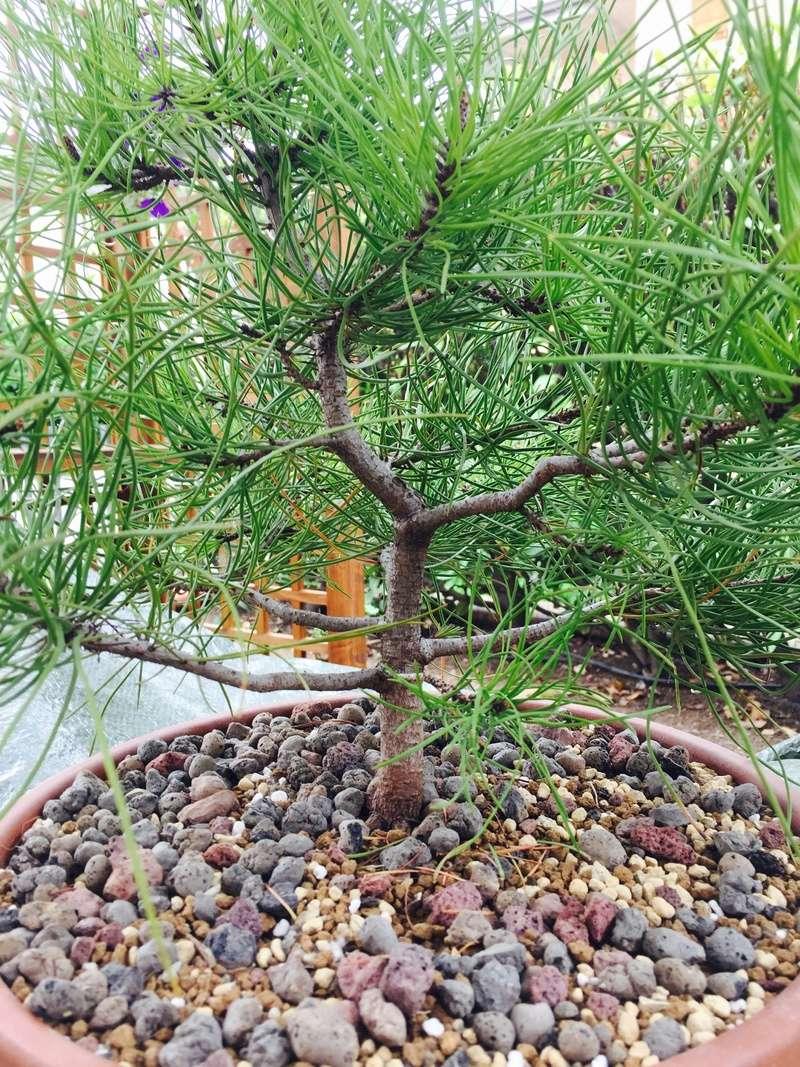 Scelta rami per bonsai di pino. Fullsi10
