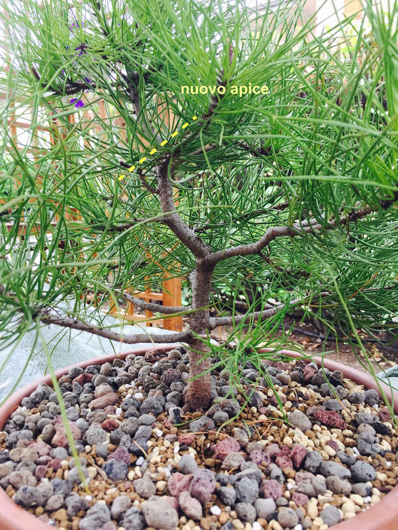Scelta rami per bonsai di pino. Fullsi12