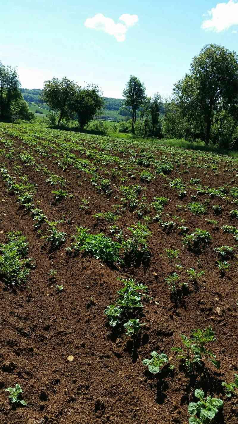 Évolution des cultures de pommes de terre 2017 455010