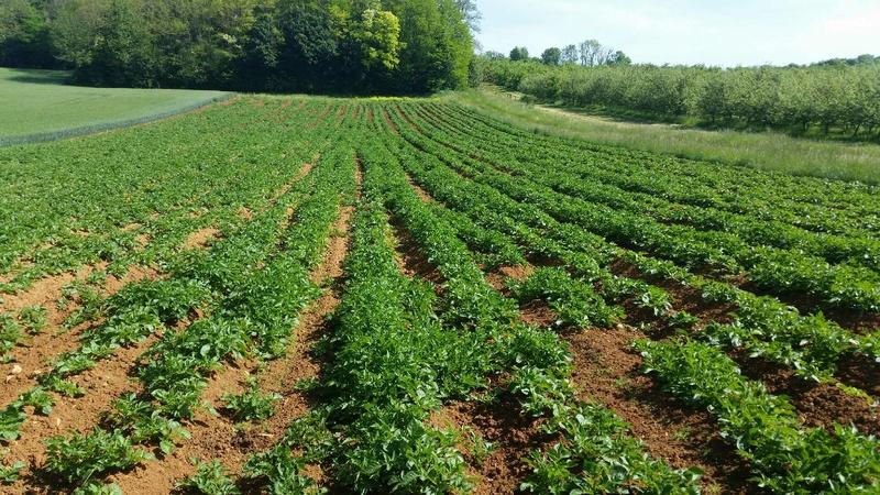 Évolution des cultures de pommes de terre 2017 455910