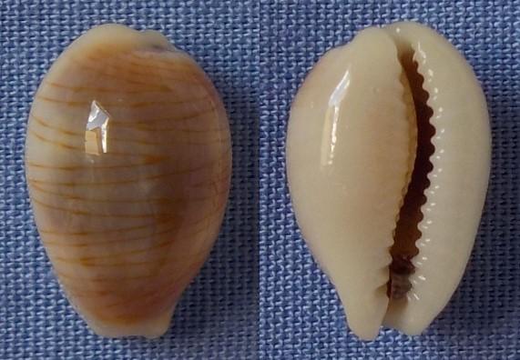 Cypraea asiatique à confirmer 12_5mm10