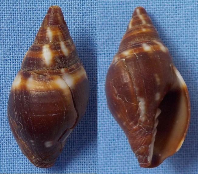 Strigatella scutulata  24_5mm10