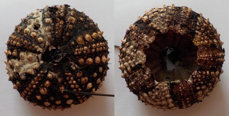 Diadematoida - Diadematidae - Diadema antillarum Philippi, 1845 Diadem10