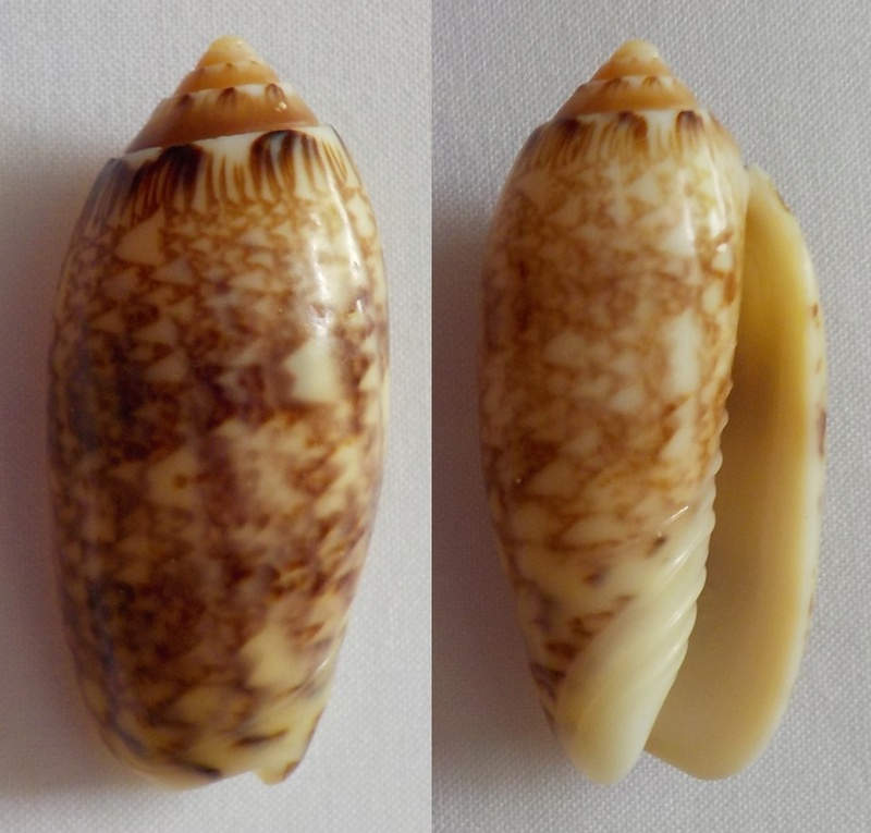 Americoliva reticularis Olive_10