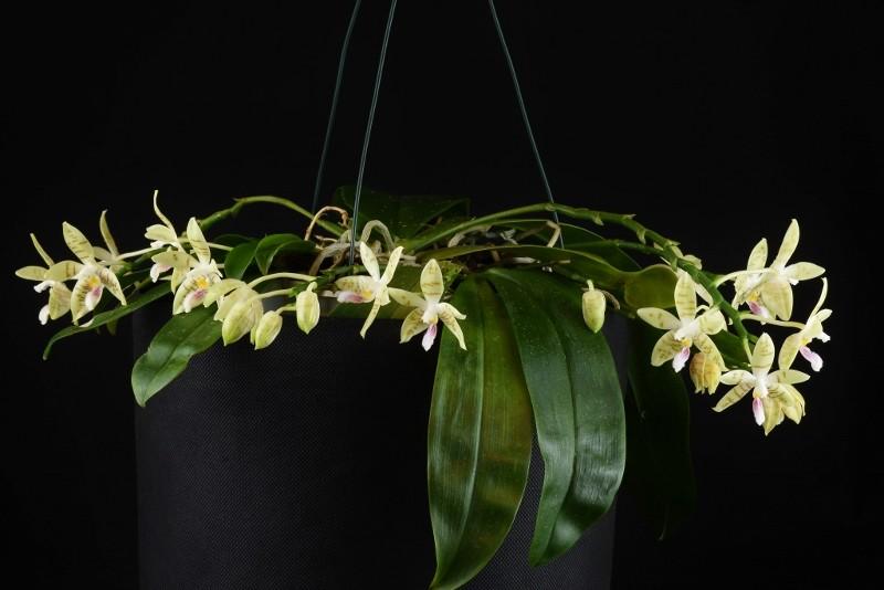 Phalaenopsis floresensis x sumatrana  (Flores Summer) Nr_30910