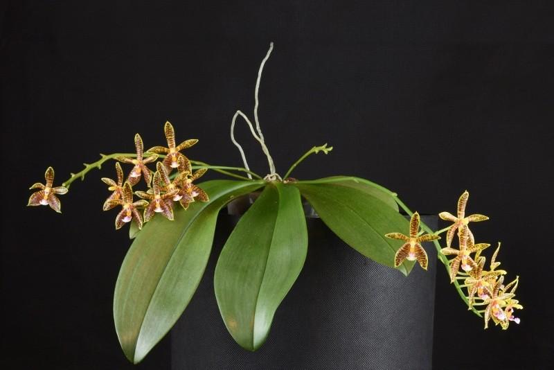 Phalaenopsis corningiana x mannii (Alcorman) Nr_33510