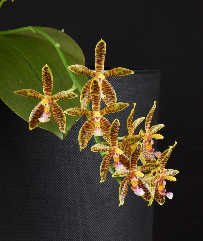 Phalaenopsis corningiana x mannii (Alcorman) Nr_33513