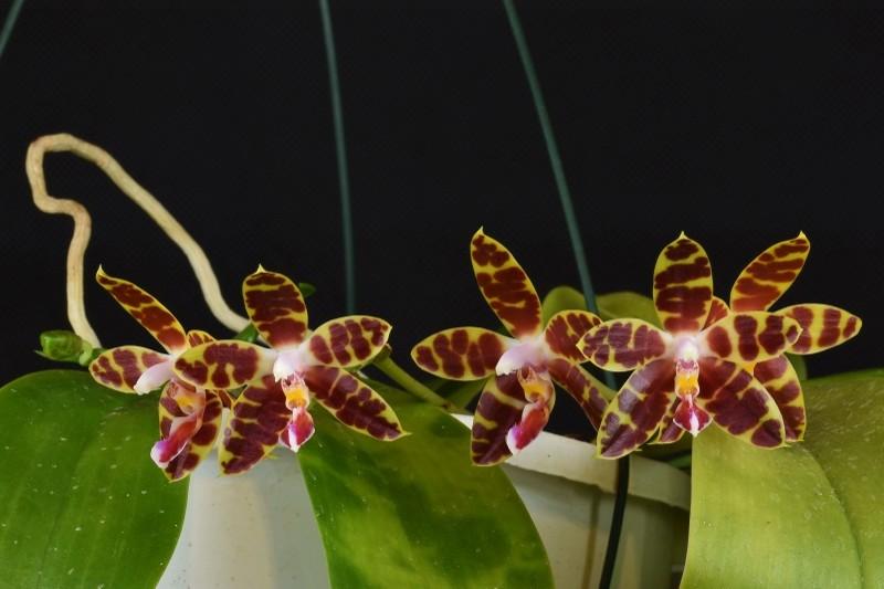 Phalaenopsis amboinensis x mariae ( Macassar )  Nr_35310
