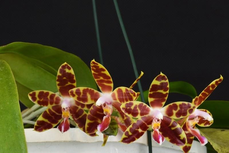 Phalaenopsis amboinensis x mariae ( Macassar )  Nr_35311