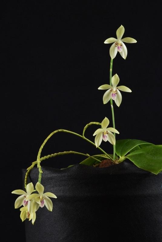 Phalaenopsis cochlearis x speciosa Nr_42710