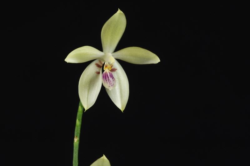 Phalaenopsis cochlearis x speciosa Nr_42711