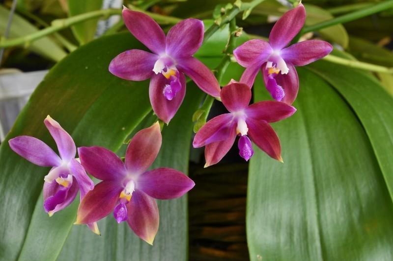 Phalaenopsis tetraspis x violacea (Jennifer Palermo) oder Phal. speciosa x violacea (Germaine Vincent) - Seite 3 Nr_45610